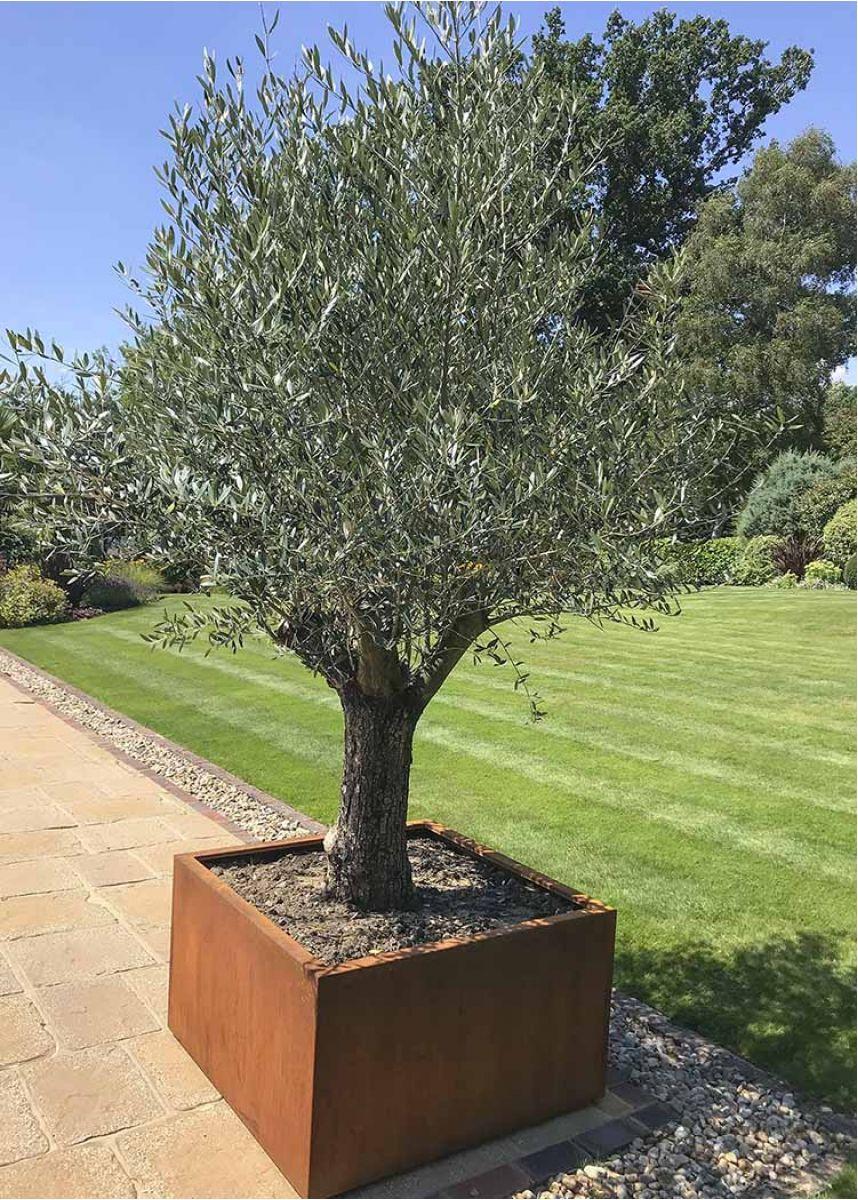 Rusty steel olive tree pot