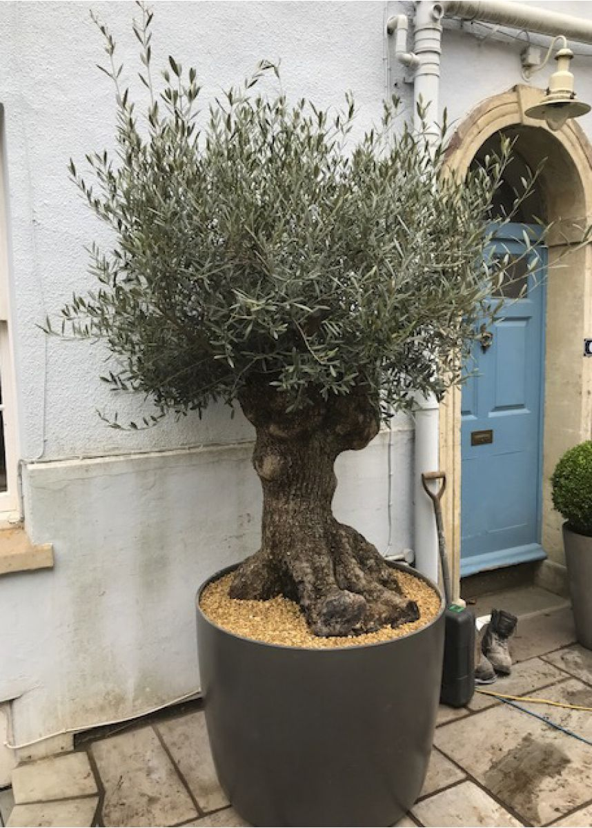 Plant pot for olive tree