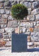 Lollipop Privet topiary plant