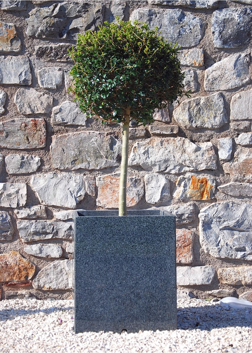 Lollipop Privet topiary plant