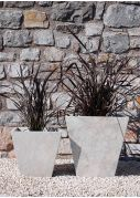 Black New Zealand Flax Phormiums plants